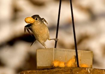Tufted Titmouse (Baeolophus bicolor) by Ray - They will store food for later use.