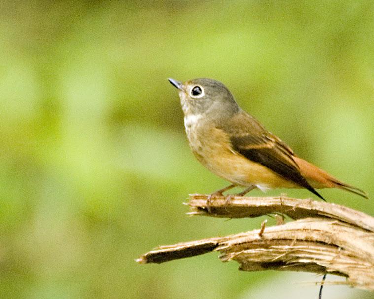 Ferruginous Flycatcher (Muscicapa ferruginea) by MAMuin