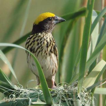 Streaked Weaver (Ploceus manyar) by Nikhil Devasar