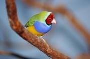 Gouldian Finch (Erythrura gouldiae) by Dan