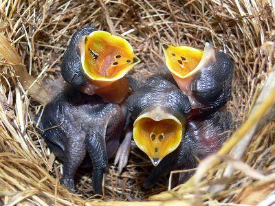 Australian Pipit (Anthus australis) ©WikiC chicks