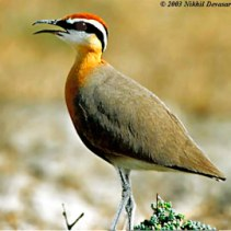 Indian Courser (Cursorius coromandelicus) by Nikhil Devasar