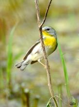 Nashville Warbler (Vermivora ruficapilla) by Quy Tran