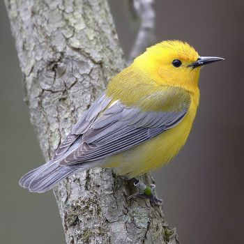 Prothonotary Warbler (Protonotaria citrea) ©WikiC