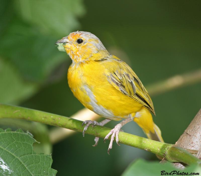 Saffron Finch (Sicalis flaveola) Immature Male ©BirdPhotos.com