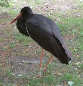 Black Stork (Ciconia nigra) ©WikiC