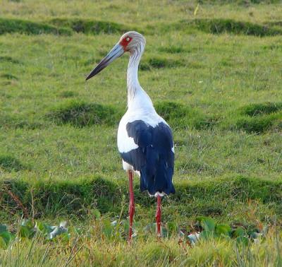 Maguari Stork (Ciconia maguari) ©©ClaudioTimm