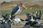 Marabou Stork (Leptoptilos crumeniferus) by Daves BirdingPix
