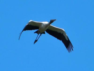 Wood Stork (Mycteria americana) by Lee Cropped