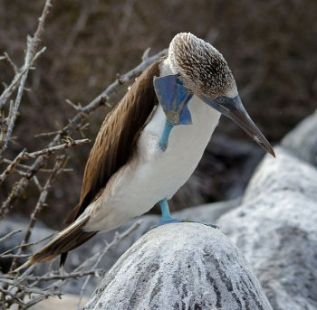 Blue-footed Booby Scratching ©© Max Ruckman
