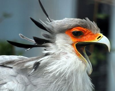 Secretarybird (Sagittarius serpentarius) with open beak ©WikiC