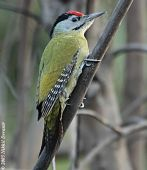Grey-headed Woodpecker (Picus canus) by Nikhil Devasar