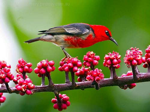 Scarlet Myzomela (Myzomela sanguinolenta) by Ian at Birdway