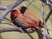 Painted Finch (Emblema pictum) by Ian