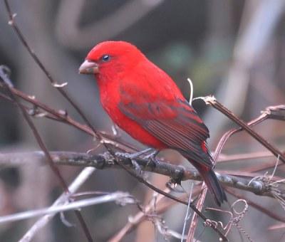 Scarlet Finch (Haematospiza sipahi) by Nikhil Devasar
