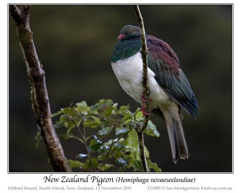 New Zealand Pigeon (Hemiphaga novaeseelandiae) by Ian