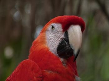 Scarlet Macaw (Ara macao) by Lee at Brevard Zoo