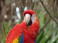 Scarlet Macaw (Ara macao) by Lee