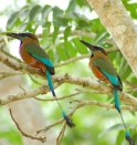 Turquoise-browed Motmot (Eumomota superciliosa) from JJSJ perching