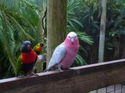Galah and Rainbow Lorikeet Brevard Zoo by Lee