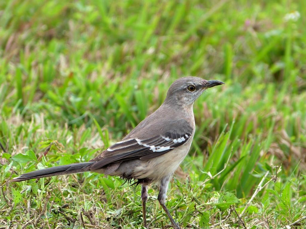 Northern Mockingbird Viera Wetlands