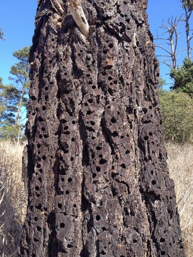 PIC-Pici Acorn Woodpecker Granary Tree holes ©Flickr Ornitholoco