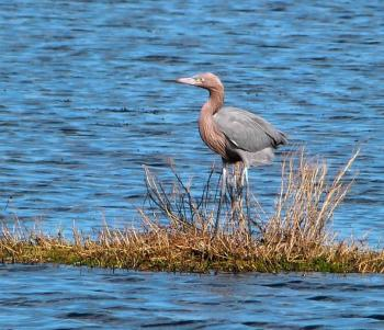 Reddish Egret MINWR Black Pt Drv by Lee crop