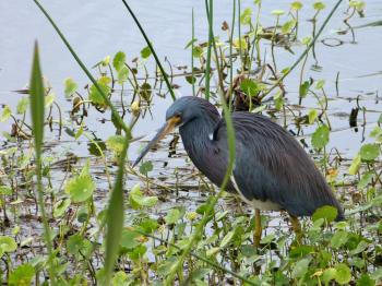 Tricolored Heron Viera Wetlands by Lee