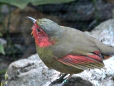Red-faced Liocichla (Liocichla phoenicea) Proof shot by Lee Riverbanks Zoo