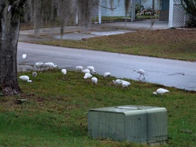 American White Ibis (Eudocimus albus) 1st Birds of 2014 by Lee
