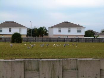 Sandhill Cranes and American White Ibis by Lee across street