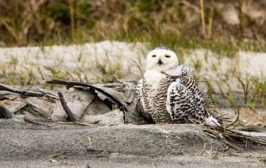 Snowy Owl (Bubo scandiacus) Female in Florida 2013-2014 ©©minds-eye