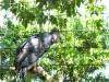 Harpy Eagle (Harpia harpyja) by Lee at ZM 2014
