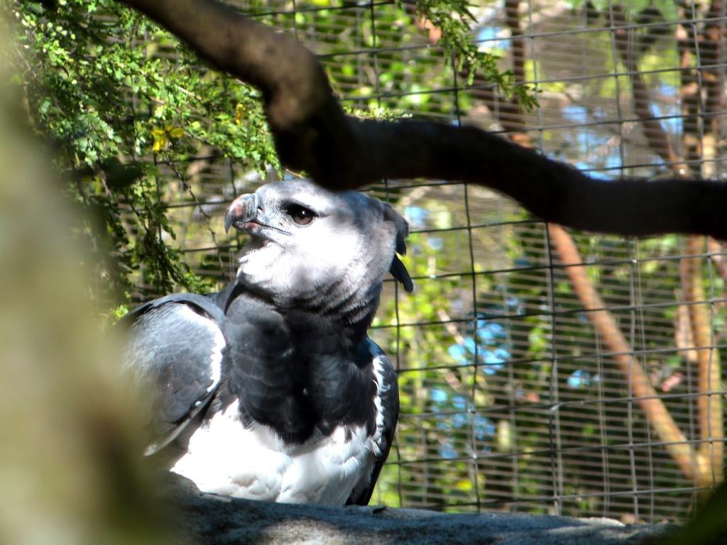Birds of the bible harpy eagle lee 39 s birdwatching - Harpy eagle hd wallpaper ...