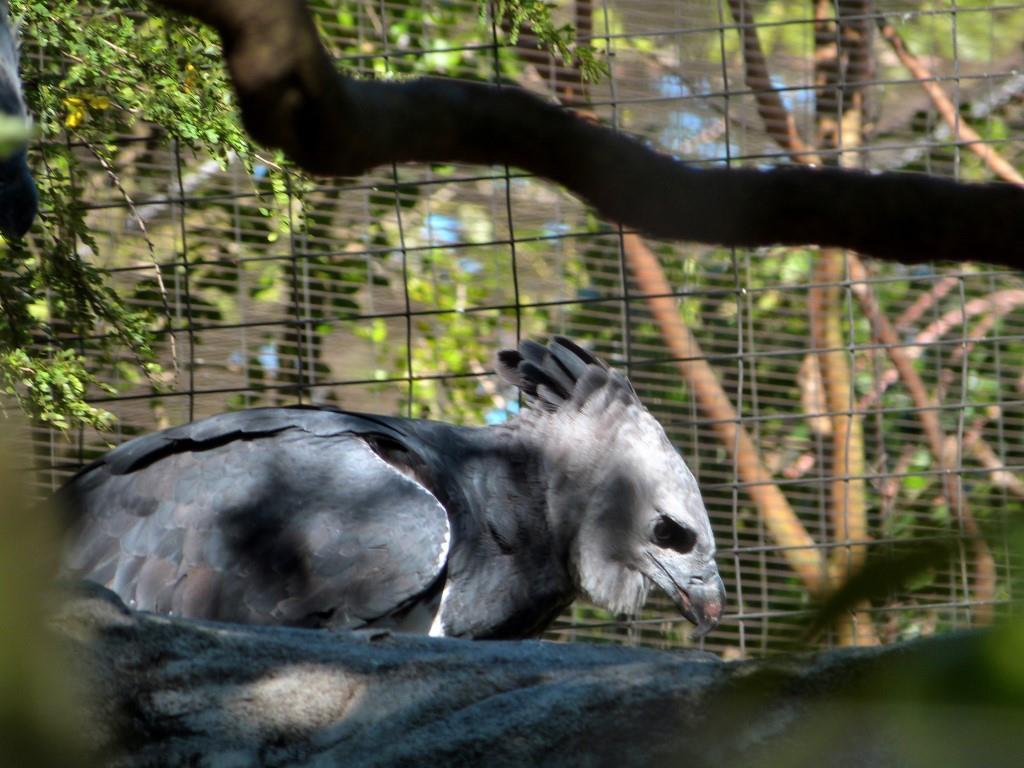 Harpy Eagle Eating Monkey