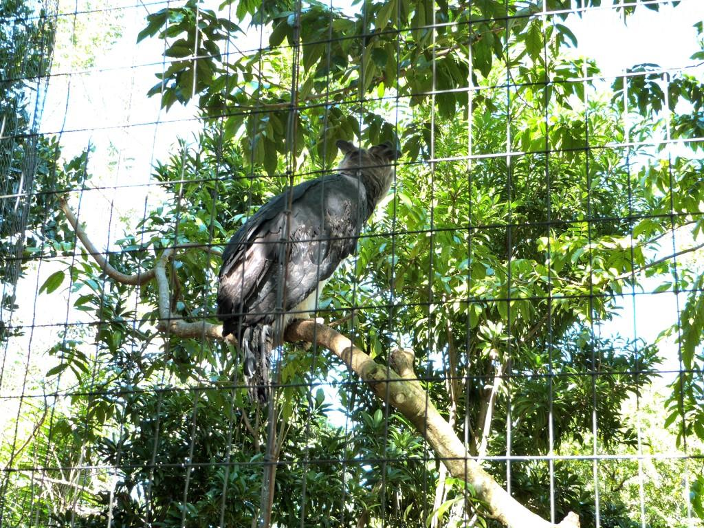 Harpy Eagle (Harpia harpyja) by Lee at Zoo Miami 2014
