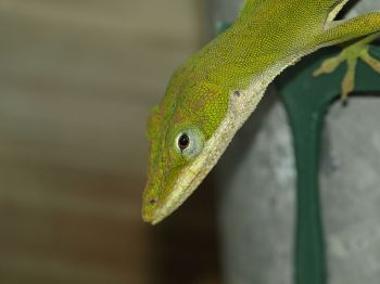 Anole on Fence - Carolina Anole ©WikiC