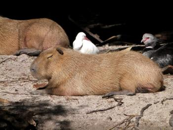 Capybara with White Ibis and Crested Screamer by Lee at PB Zoo