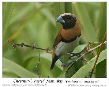 Chestnut-breasted Mannikin (Lonchura castaneothorax) by Ian