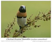 Chestnut-breasted Mannikin (Lonchura castaneothorax) by Ian