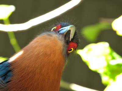 Chestnut-breasted Malkoha (Phaenicophaeus curvirostris) by Lee at PB Zoo by Lee