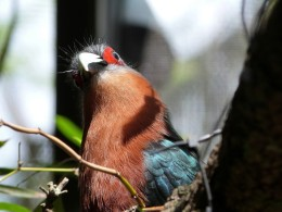 Birds of the Bible – Chestnut-breasted Malkoha