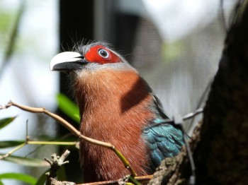 Chestnut-breasted Malkoha (Phaenicophaeus curvirostris) Palm Beach Zoo by Lee
