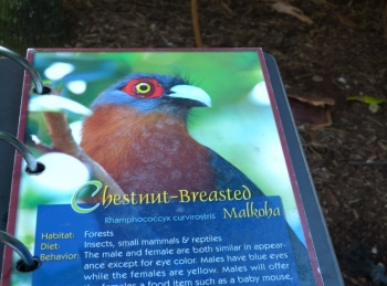 Chestnut-breasted Malkoha (Phaenicophaeus curvirostris) Sign by Lee at ZM 2014