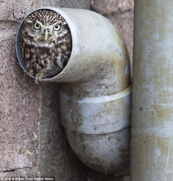 Owl in Drain - If It Fits-I Sits