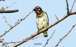 AJMithra's Photo of a Coppersmith Barbet (Megalaima haemacephala)