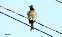 AJMithra's Photo of a Red-vented Bulbul (Pycnonotus cafer)