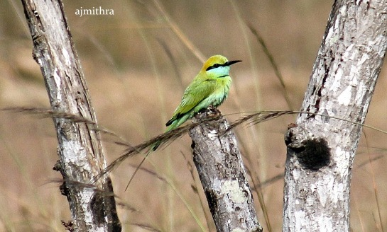 AJMithra's Photo of Green Bee-eater
