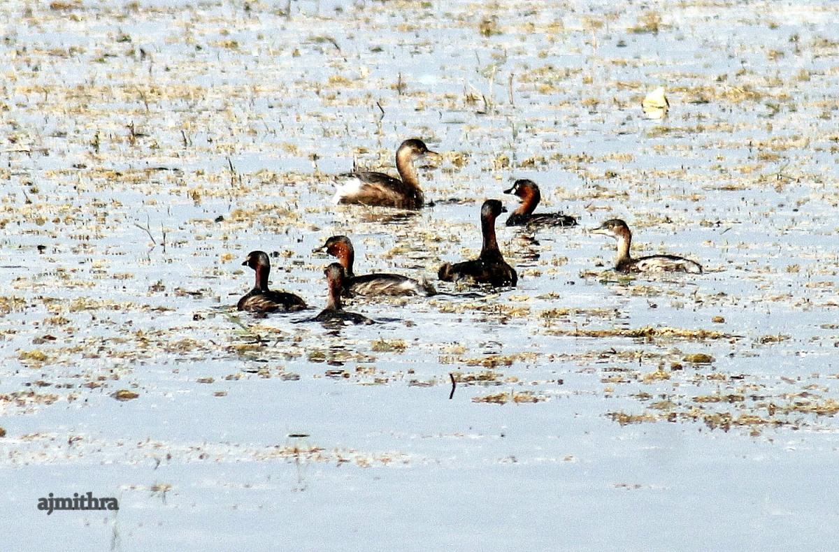 AJMithra's Photo of Grebes