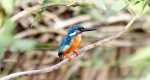 AJMithra's Photo of Common Kingfisher (Alcedo atthis)